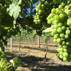Grapes,-Central-Otago,-credit-Peter-Richards-MW