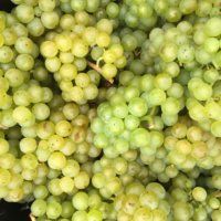 Beautiful Hampshire Chardonnay grapes